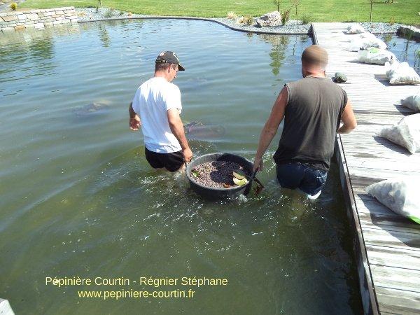 bassines plastiques contenant les plantes aquatiques