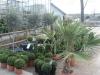 Quelques buis boule, des palmiers et au fond 3 oliviers