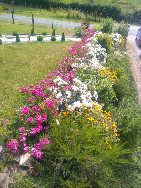 Parterre Fleuri De Rosiers Roses Et Blancs