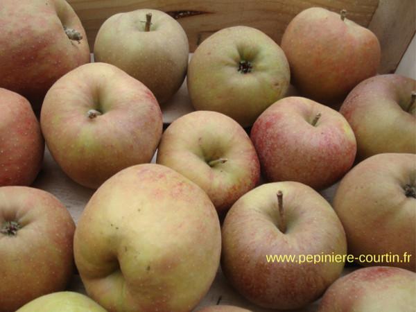 Pommiers et pommes de diff rentes vari t s - Variete de pommier rustique ...