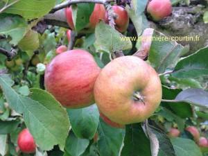 pomme Jonagold sur l'arbre avant la cueillette