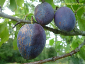 pruniers quetsche bleu violet
