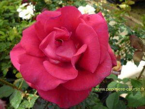 rosier buisson Lolita Lempicka