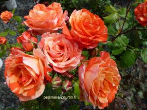 rosier remontant à grandes fleurs