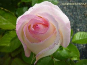 rosier buisson moonstone