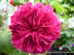 rosier buisson William Shakespeare