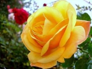 rosa Amber Flush