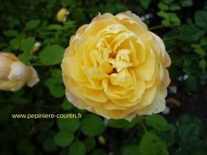 rosier buisson Charlotte de création David Austin
