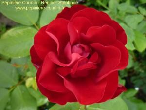 rosier buisson Coluche
