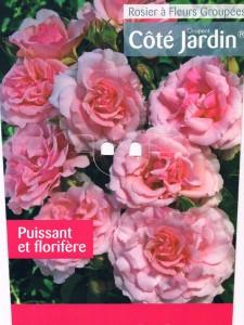 rosier buisson côté jardin