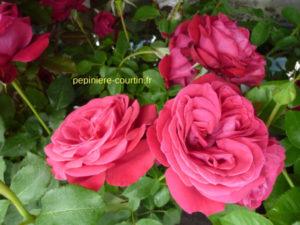 rosier remontant à grandes fleurs rouges