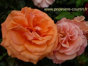 roses francois mauriac de couleur orange