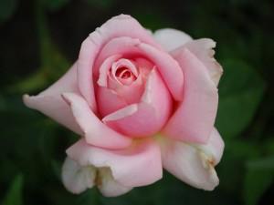 rosier buisson Frédéric Mistral