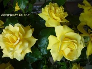 rosier buisson Friesia