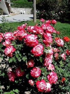 rosier buisson Jubilé Prince Monaco