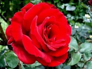 rosier buisson Marcel Pagnol