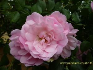 rosier buisson Mareva