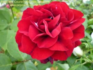 rosier buisson Nadia Renaissance