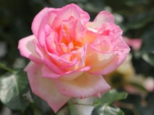 rosier buisson Princesse de Monaco
