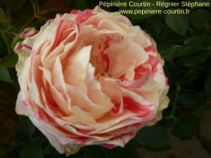 rosier buisson Scentimental