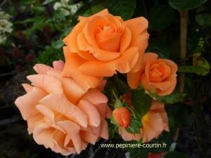 rosa Newflash