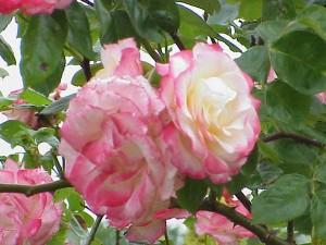 rosa haendel