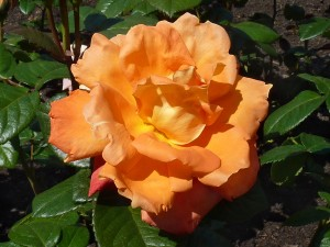 rosier buisson ou grimpant Louis de Funès