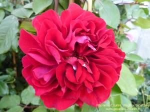 rosa Nadia Renaissance