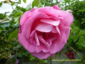 Parfum Royal