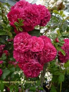 rosa pleureur Excelsa