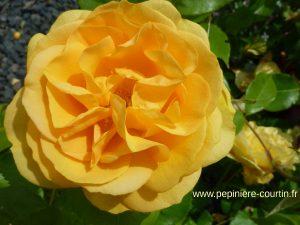 rosier tige de couleur jaune doré