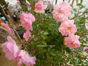 un rosier tige Bonica 82