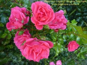 existe aussi en rosiers tiges et rosiers pleureurs : rosa Eméra