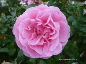 rosa-leonardo-da-vinci