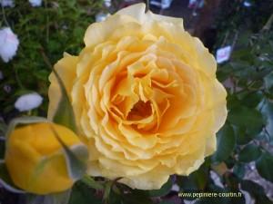 rosa Marselisborg