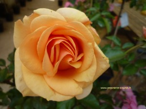 rosa olympic palace poulymp