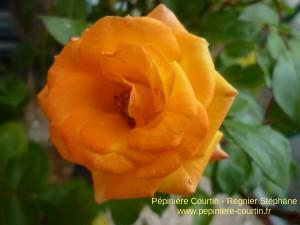 rosier rumba