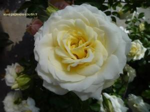 rosa-schneewittchen