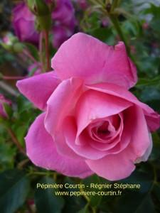 rosa Topkapi Palace Poulthe