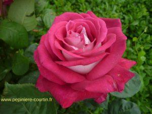 rosier tige Monica Bellucci