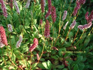 plantes vivaces couvre-sols