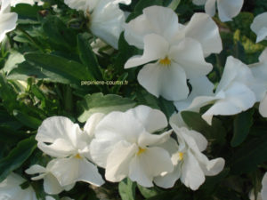 bacopa petites fleurs blanches