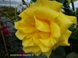 rosier grimpant fleurs jaunes