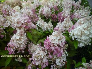 Pepiniere Courtin : un hortensia paniculé, un exemple de plantes que l'on trouve dans notre jardinerie