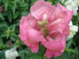 plante annuelle