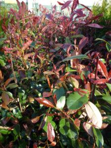 arbuste planté en automne