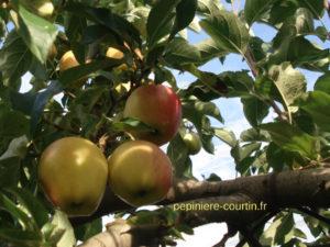 pommes précoces à couteau
