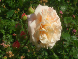 rosier anglais Abraham Darby