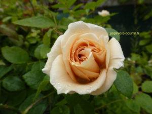 rosier buisson Lions Rose couleur blanc crème