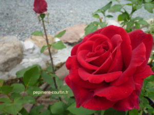 rosier rouge pourpre